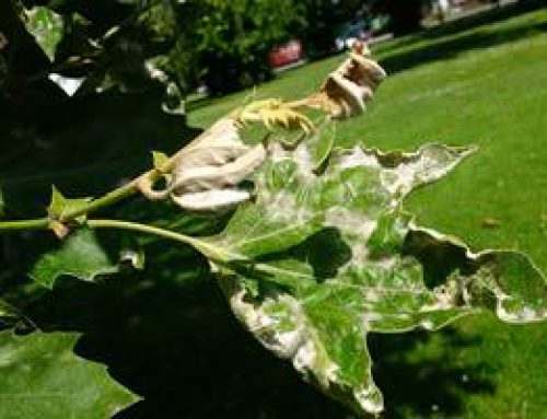 Heidelberg: Platanenwelke und Mehltau machen Bäumen zu schaffen